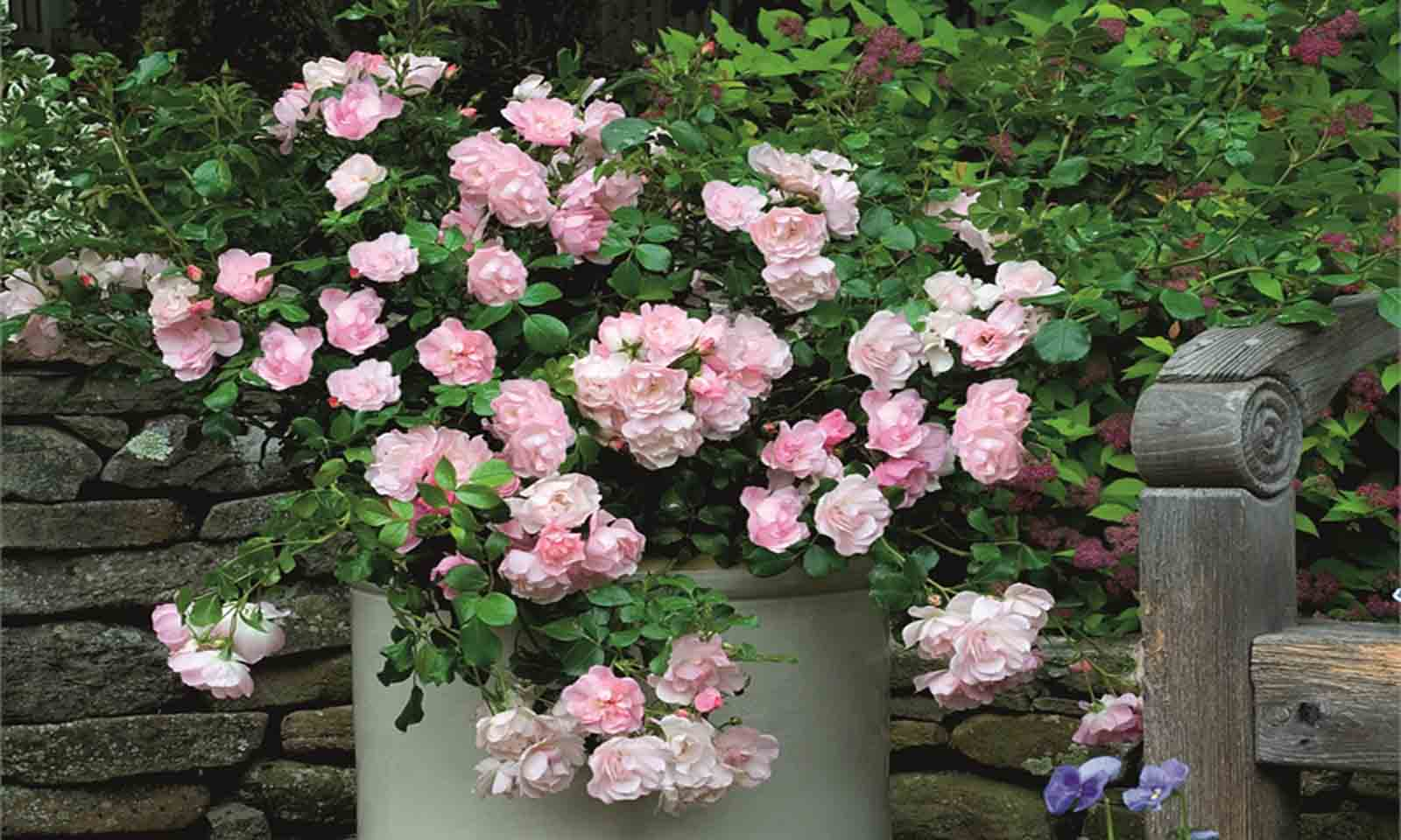 Pink Roses - Ground Cover