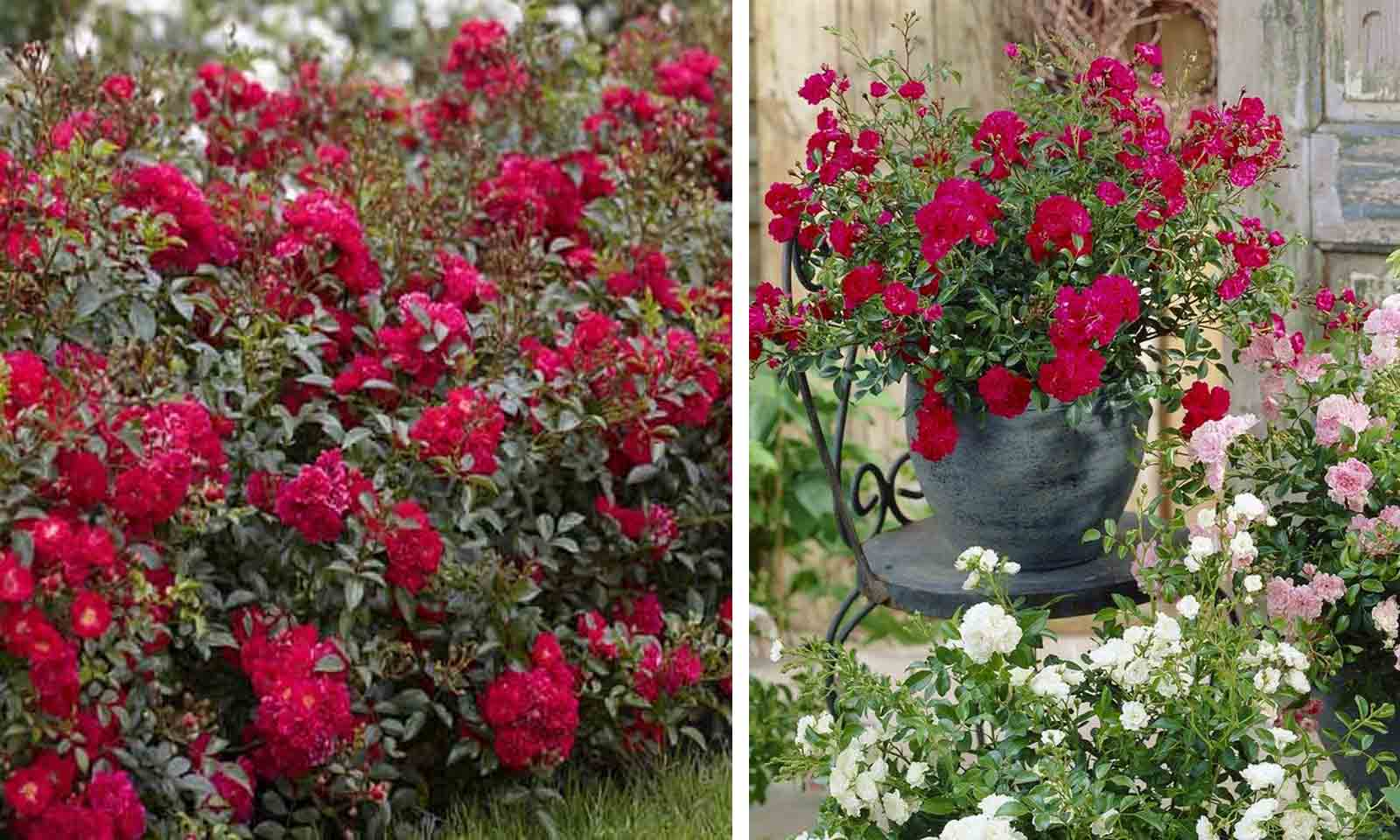 """Roses """"Fairy Dance"""" - Ground Cover"""
