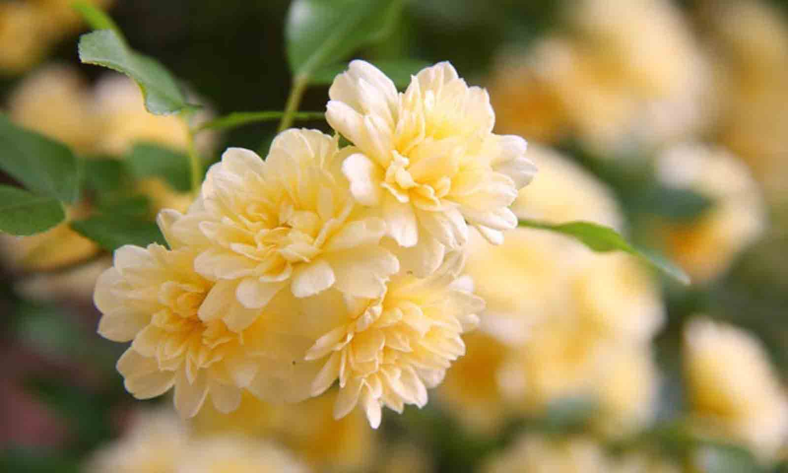 Rosa Banksiae Lutea - Climbing