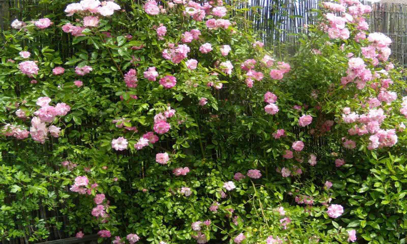 Rosa Banksiae Rosea - Climbing