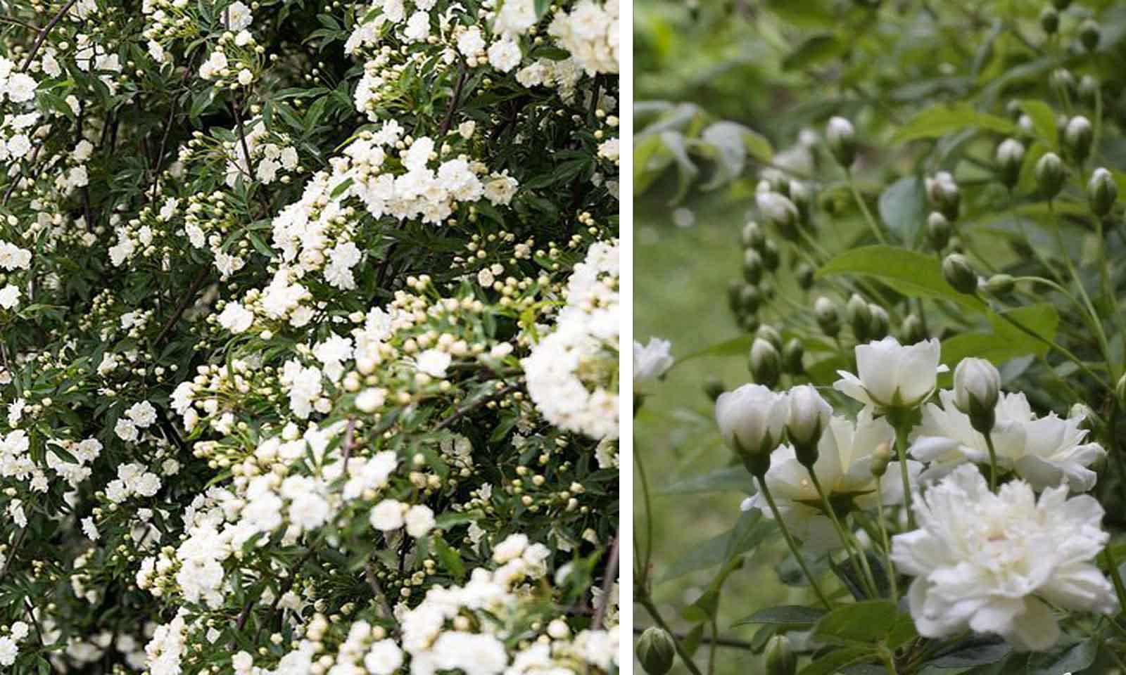 Rosa Banksiae Alba Plea - Climbing