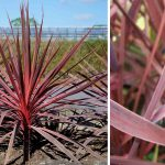 Cordyline Australis 'Red Star' (New Zealand Cabbage Tree)