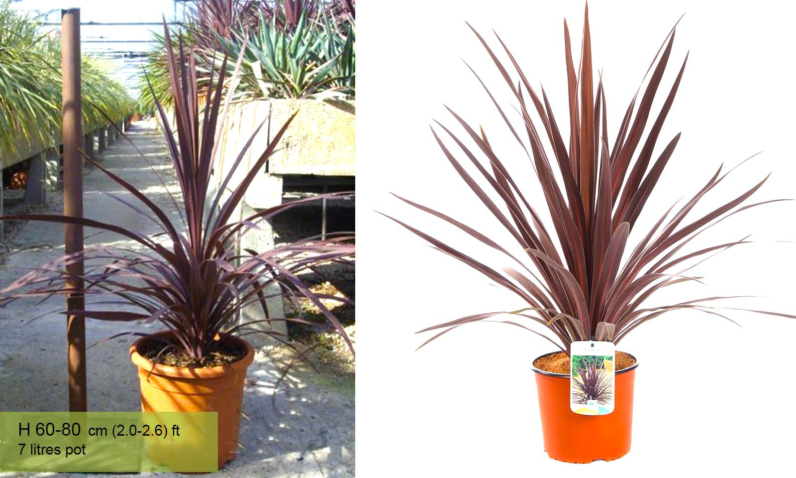 "Cordyline Australis ""Red Star"" (New Zealand Cabbage Tree)"