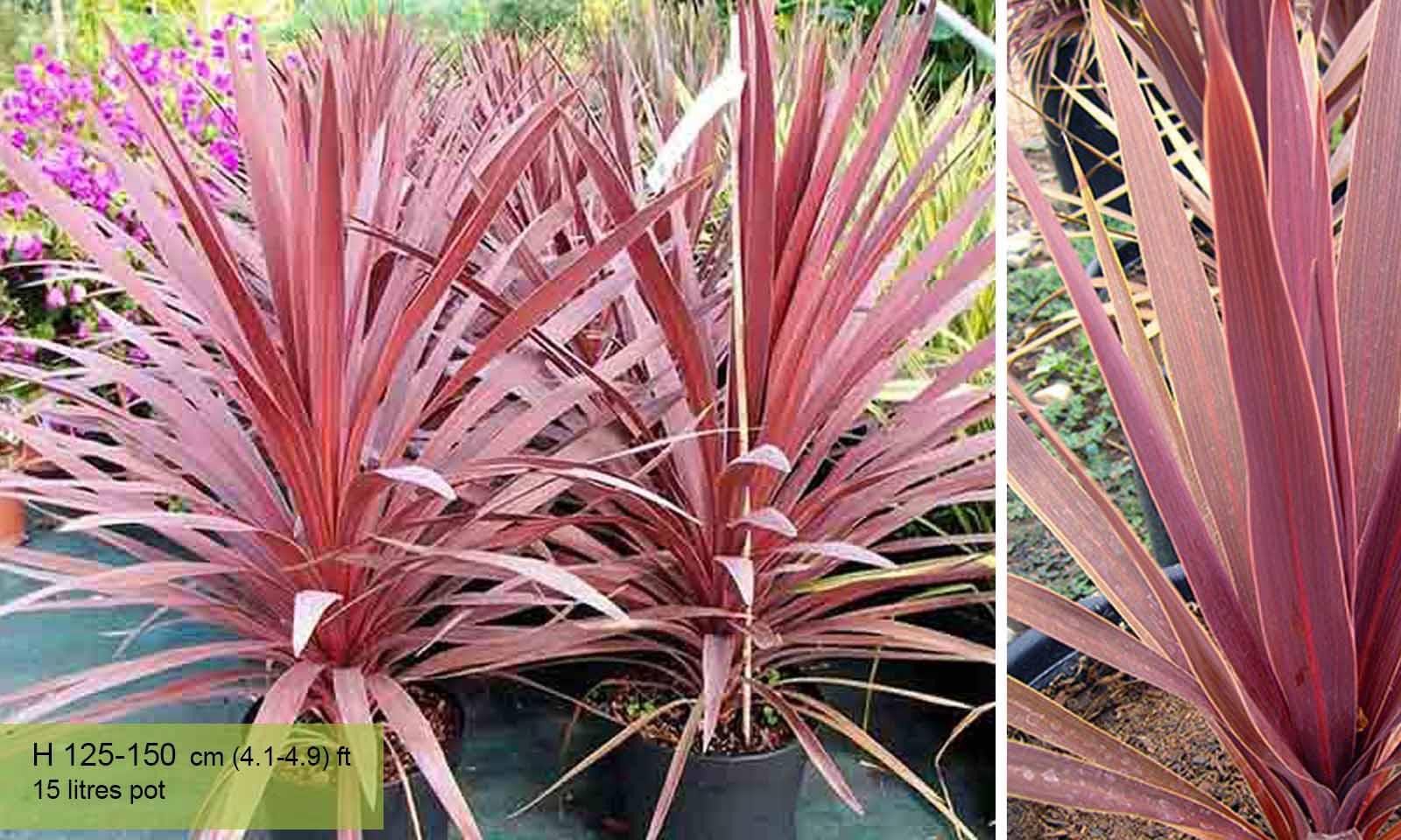 Cordyline Australis Red Star New Zealand Cabbage Tree Garden Plants Online