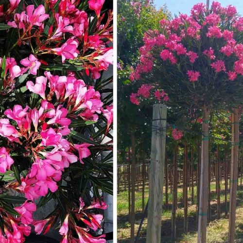 Nerium Oleander (East Indian Oleander) - Standard