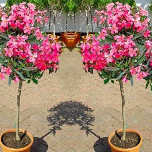 Nerium Oleander (East Indian Oleander) - Quarter Standard
