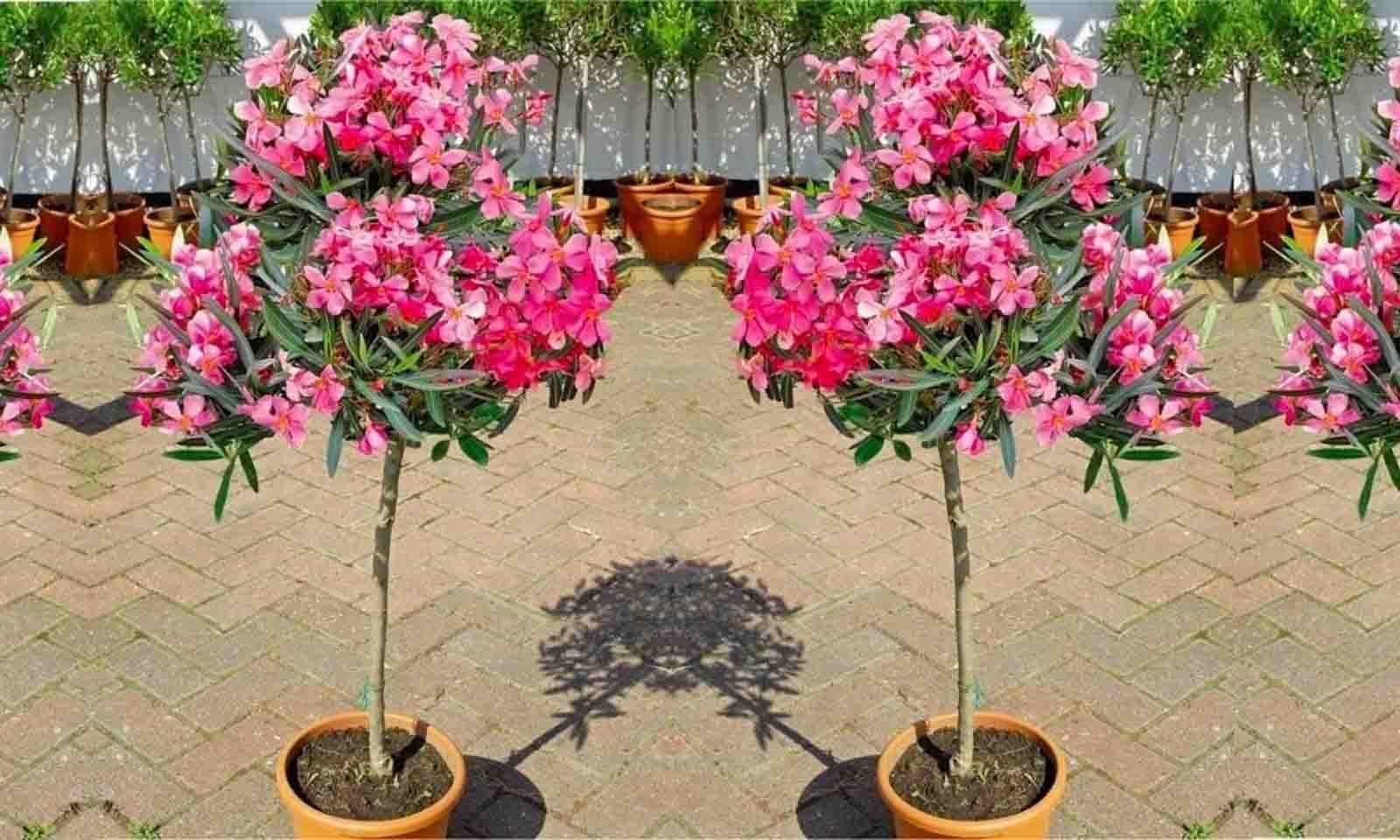 Nerium Oleander (East Indian Oleander) - Quarter Standard