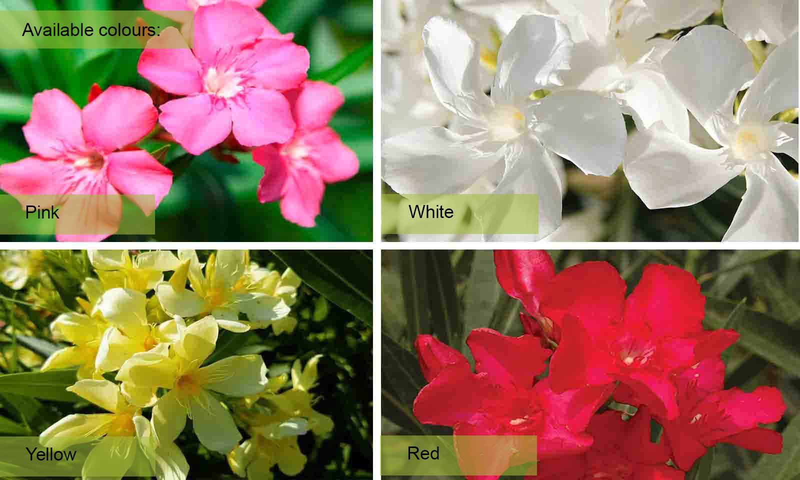 Nerium Oleander - Half Standard