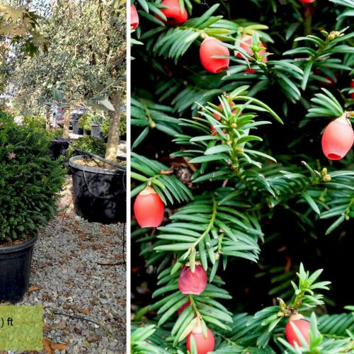 Taxus Baccata (English Yew) – Ball