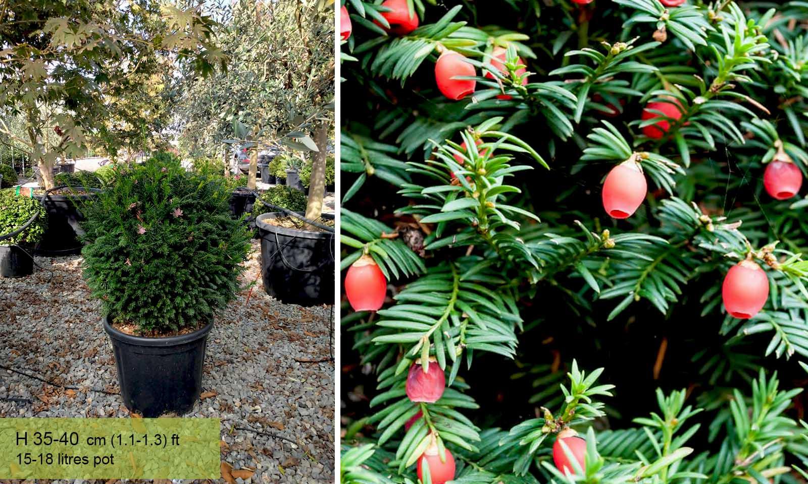 Taxus Baccata (English Yew) – Ball