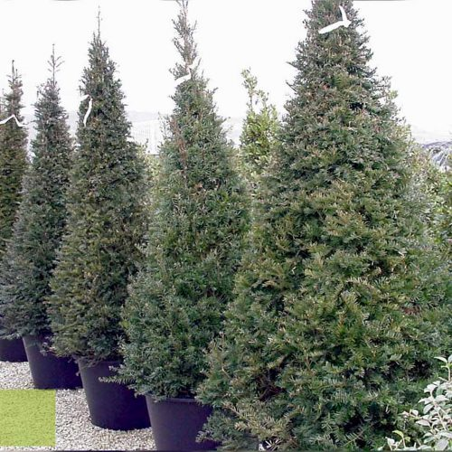 Taxus Baccata (English yew) – Pyramid