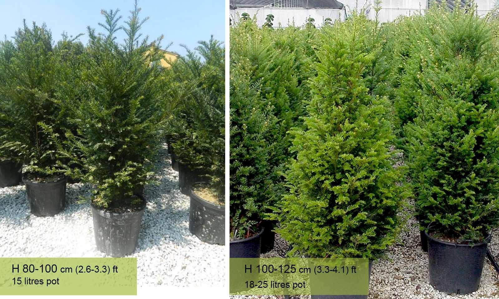 Taxus Baccata (English yew) – Shrub