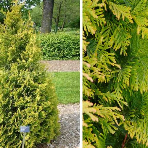Thuja Occidentalis Yellow Ribbon ( Yellow Ribbon Arborvitae )