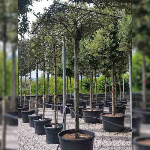 Quercus Ilex (Holm Oak / Evergreen Oak) - Roof Shaped