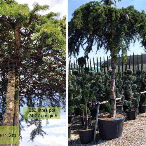 Cedrus Deodara Pendula (Weeping Deodar Cedar) – Roof Shaped