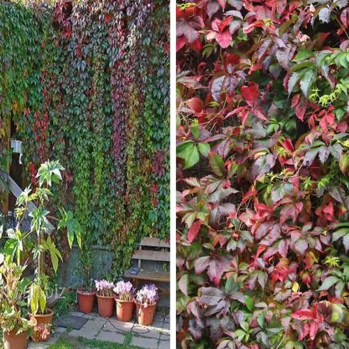 Parthenocissus Quinquaefolia (Virginia Creeper) - Climbing