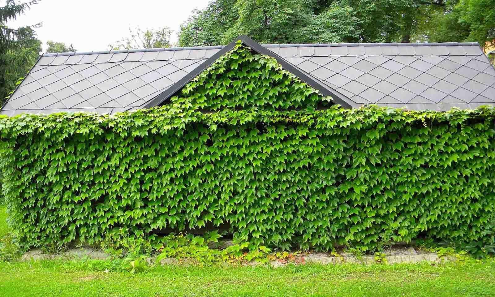 Parthenocissus Tricuspidata 'Veitchii' (Boston Ivy) - Climbing