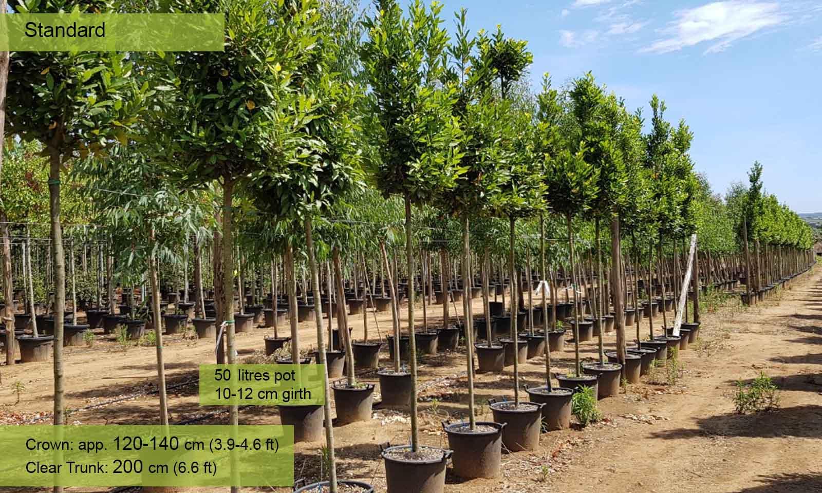 Laurus Nobilis (Bay Tree) – Standard