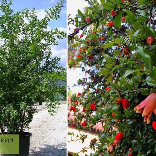 Punica Granatum (Pomegranate Tree) - Shrub
