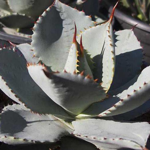 Agave Pigmaea (Agave Seemanniana Ssp. Pigmaea)
