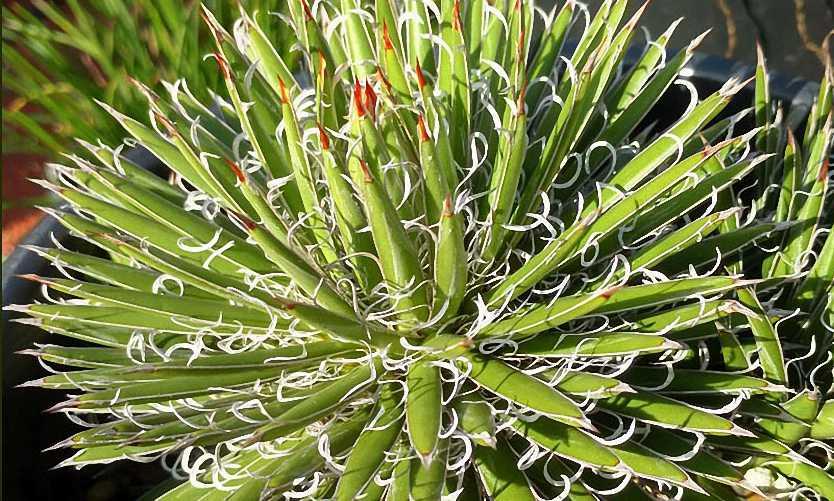 Agave x Leopoldii (Agave White Thread of Cascade)