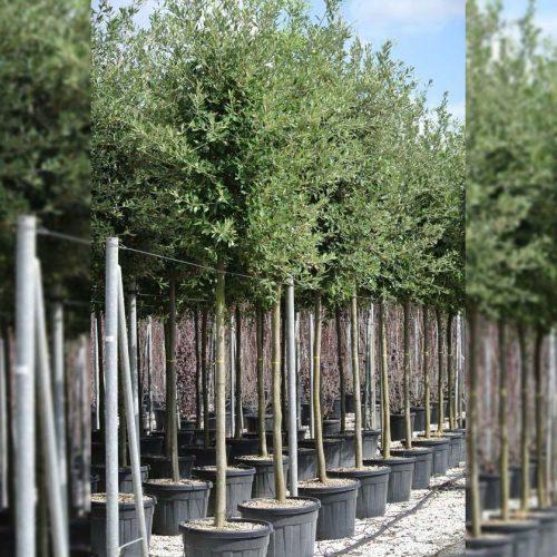 Quercus Ilex (Sale)