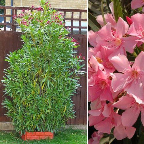 Nerium Oleander (Sale)