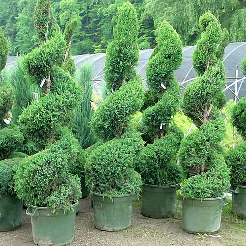 Thuja Occidentalis Smaragd (Sale)