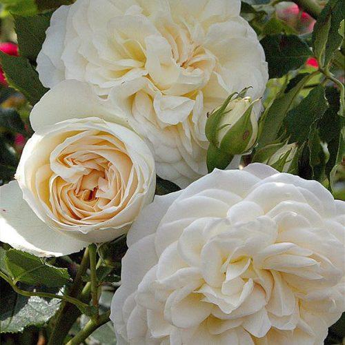 White Roses Tantau (Sale)