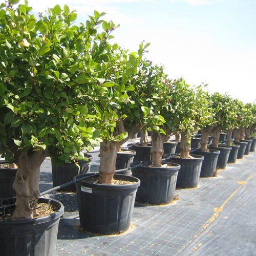 Citrus Limonum (Sale)