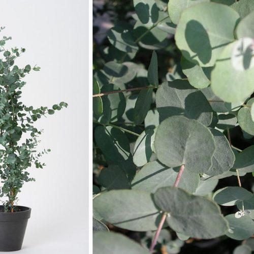 Eucalyptus Gunnii (Cider Gum) - Shrub