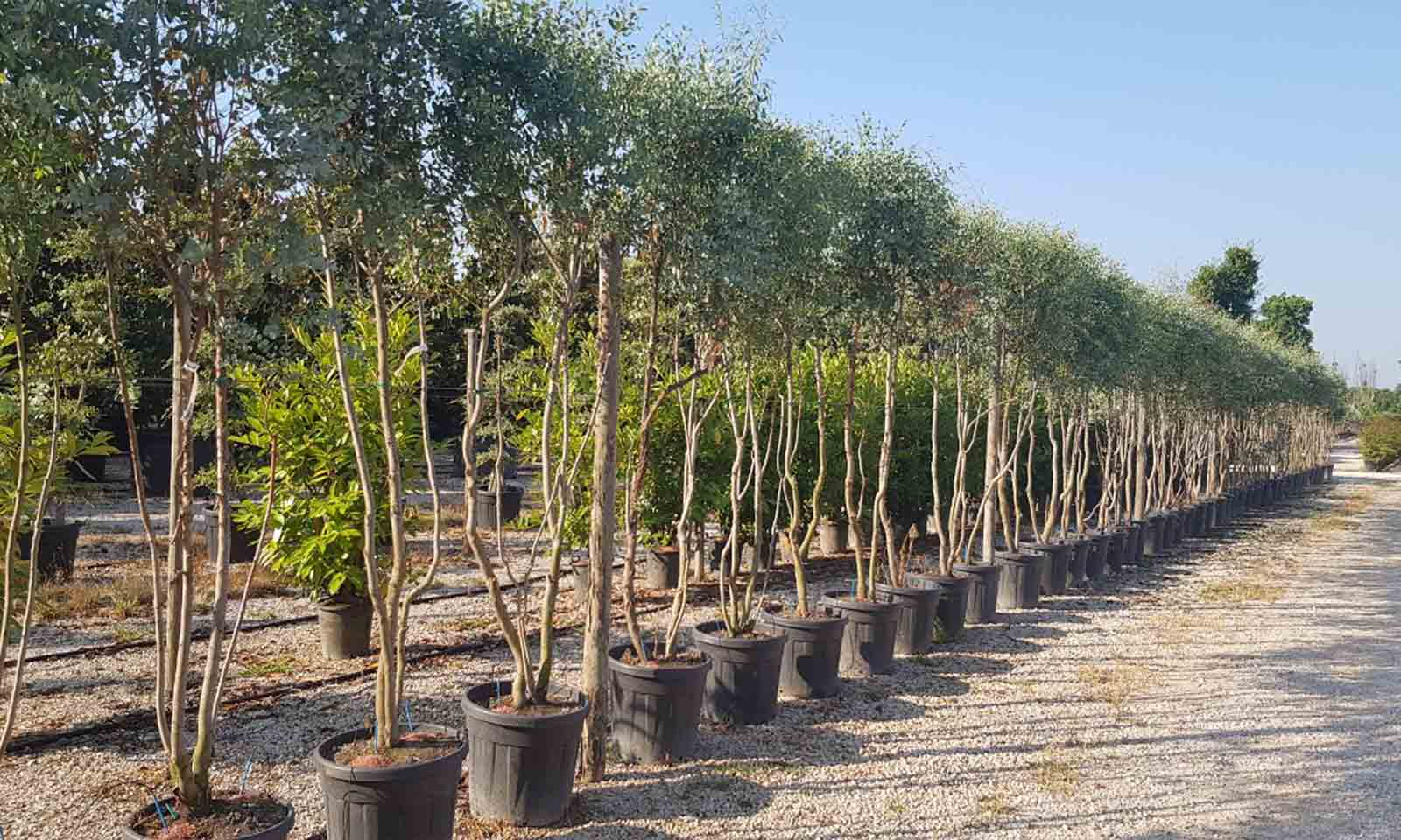 Eucalyptus Gunnii (Cider Gum) - Multistem