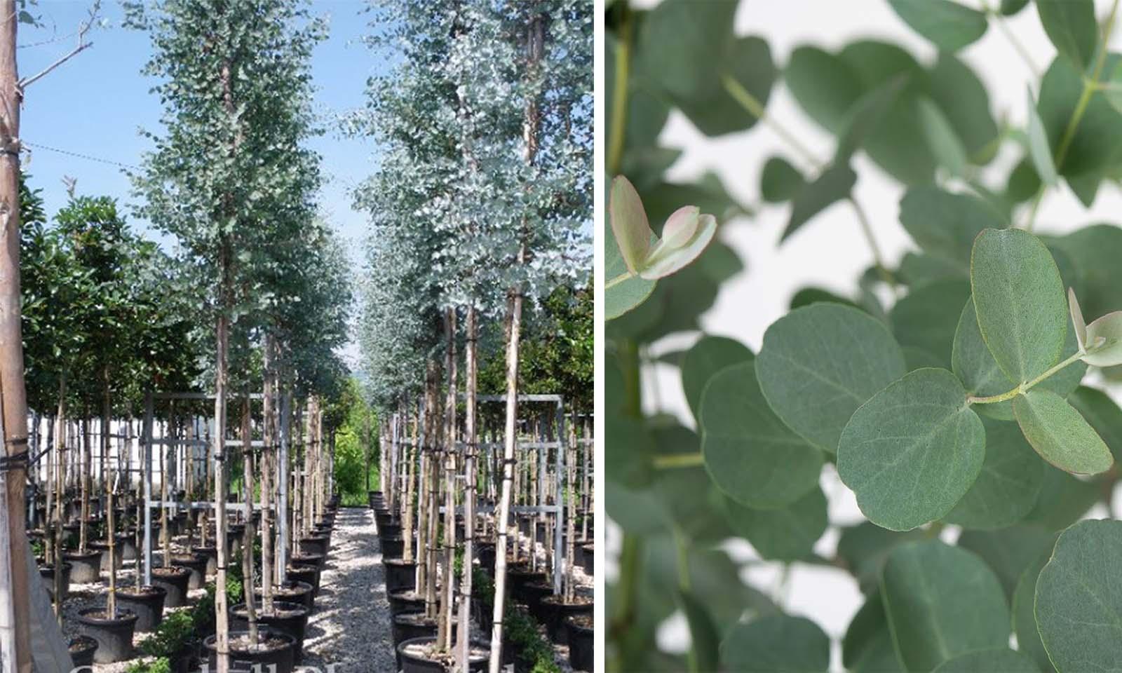 Eucalyptus Gunnii (Cider Gum) - Standard