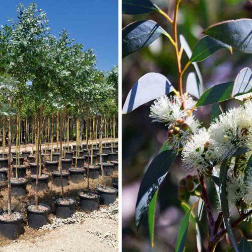 Eucalyptus Globulus (Blue Gum) - Standard