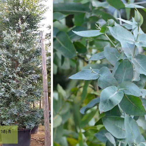 Eucalyptus Globulus (Blue Gum) - Shrub