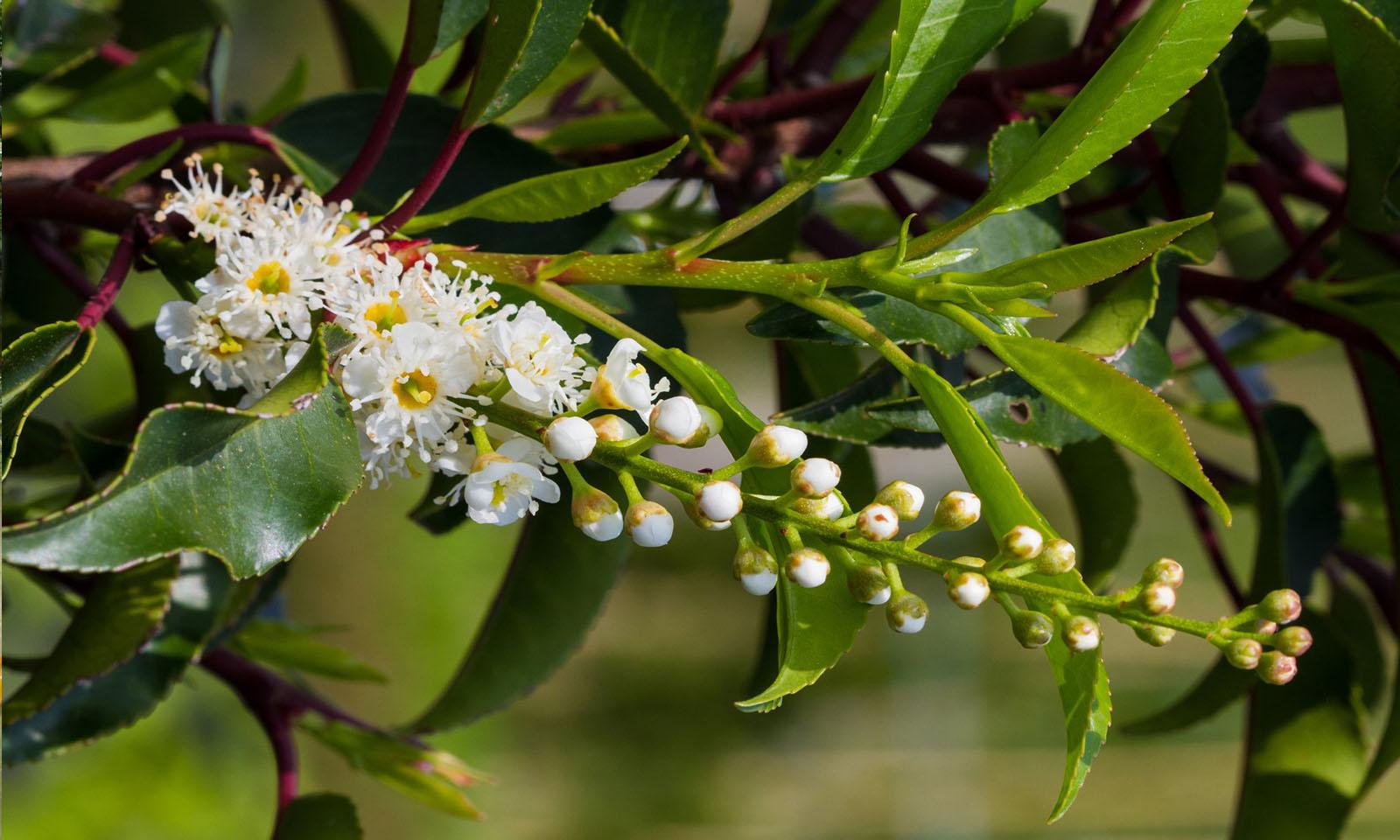 Prunus Lusitanica Angustifolia (Portugese Laurel) - Standard