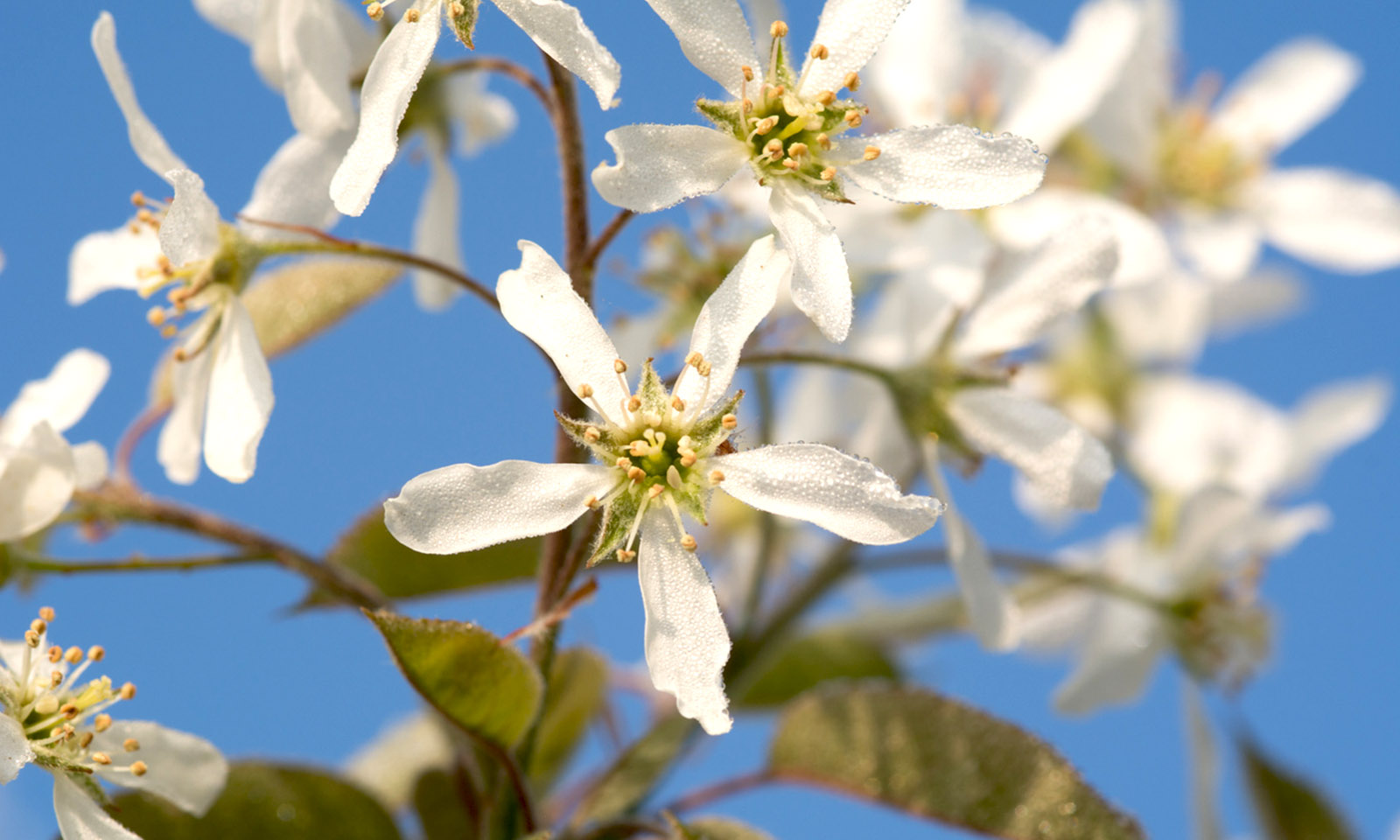 Amelanchier Laevis (Juneberry Tree / Smooth Serviceberry) - Standard