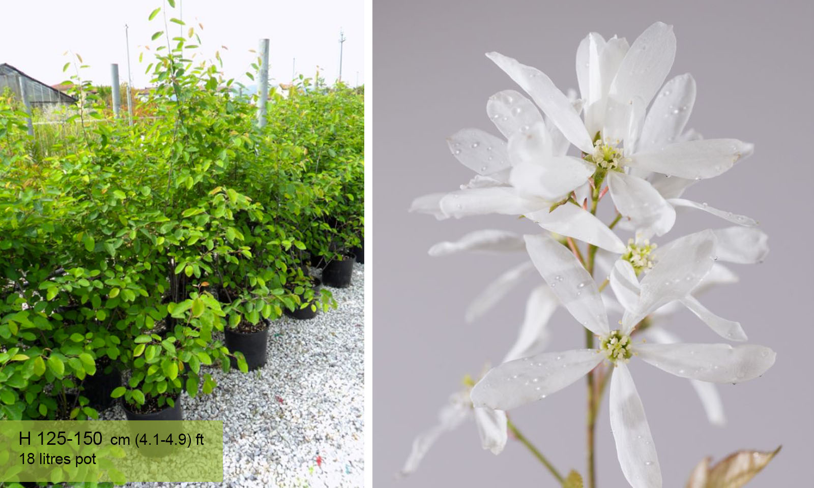 Amelanchier Laevis (Juneberry Tree / Smooth Serviceberry) - Shrub