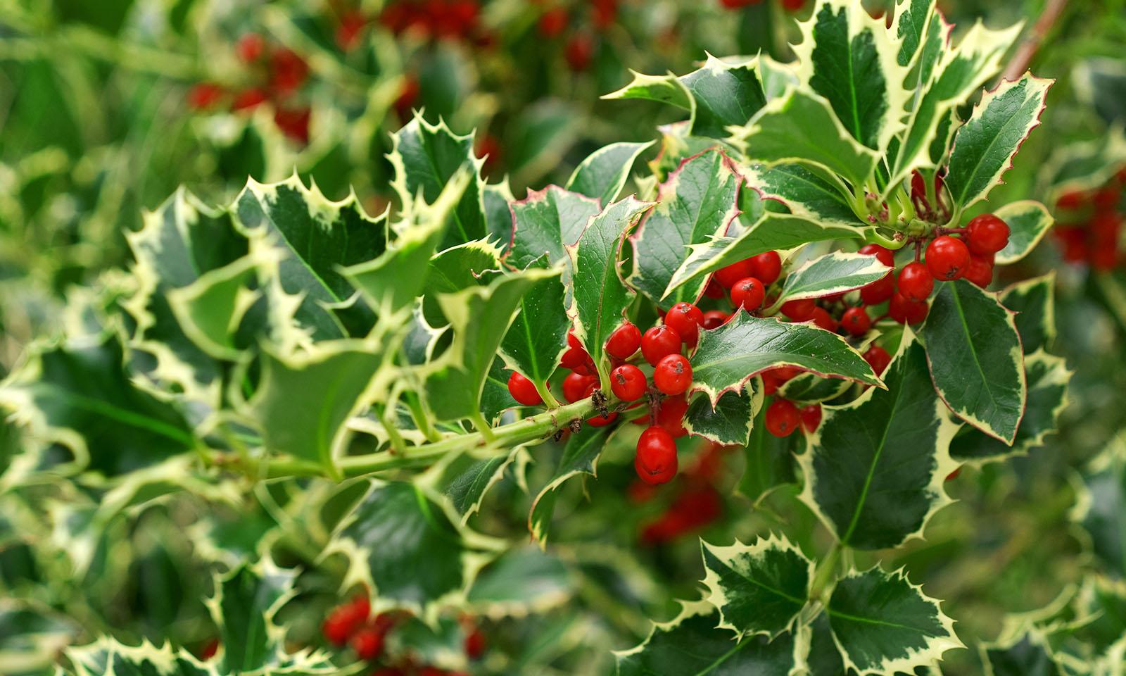 Ilex Aquifolium Argenteomarginata (Variegated English Holly) – Extra
