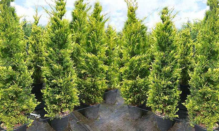 Cupressocyparis Leylandii Castlewellan Gold (Castlewellan Gold Cypress)