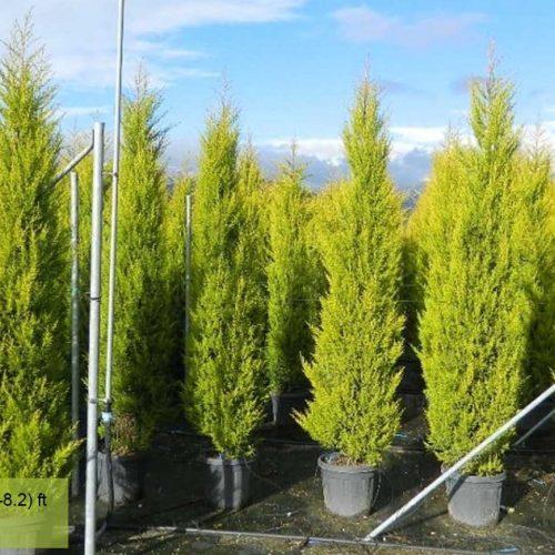 Cupressus Macrocarpa Goldcrest (Monterey Cypress, Goldcrest Cypress)