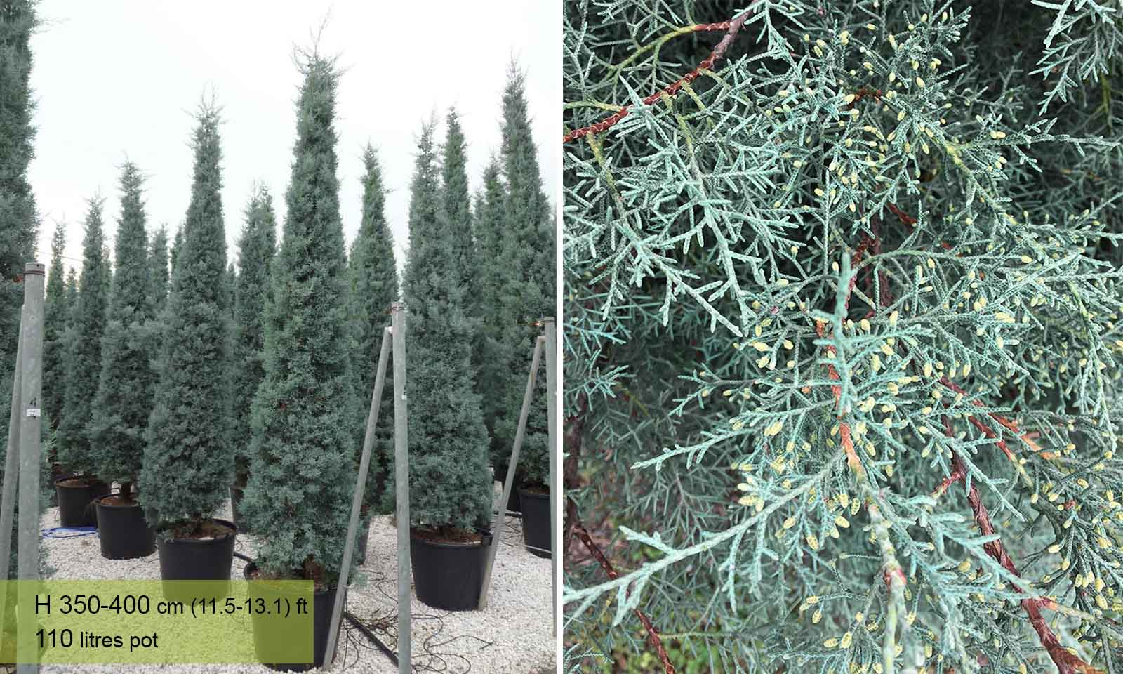 Cupressus Arizonica Fastigiata (Blue Arizona Cypress)
