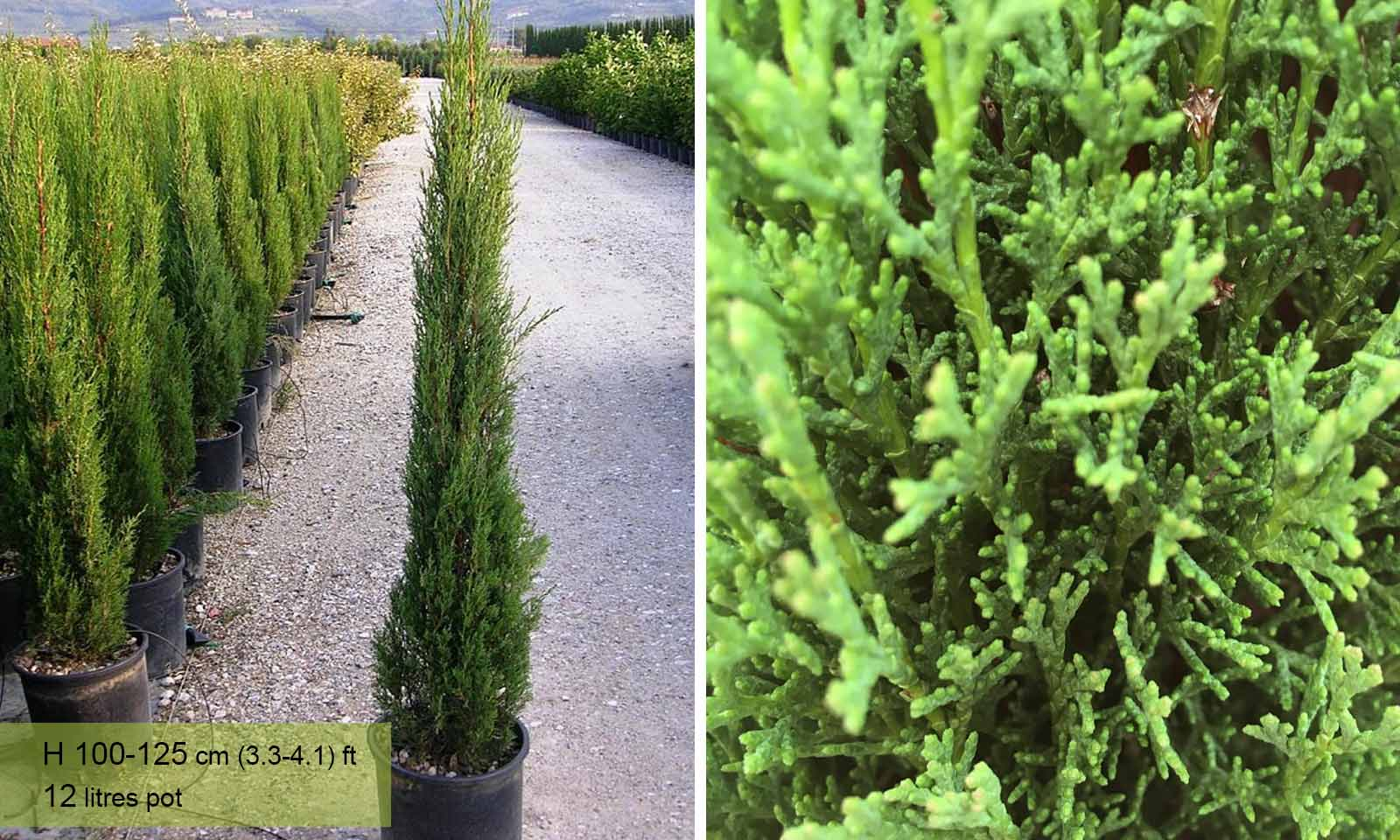 Cupressus Sempervirens Pyramidalis (Italian Cypress, Mediterranean Cypress, Green Pencil)