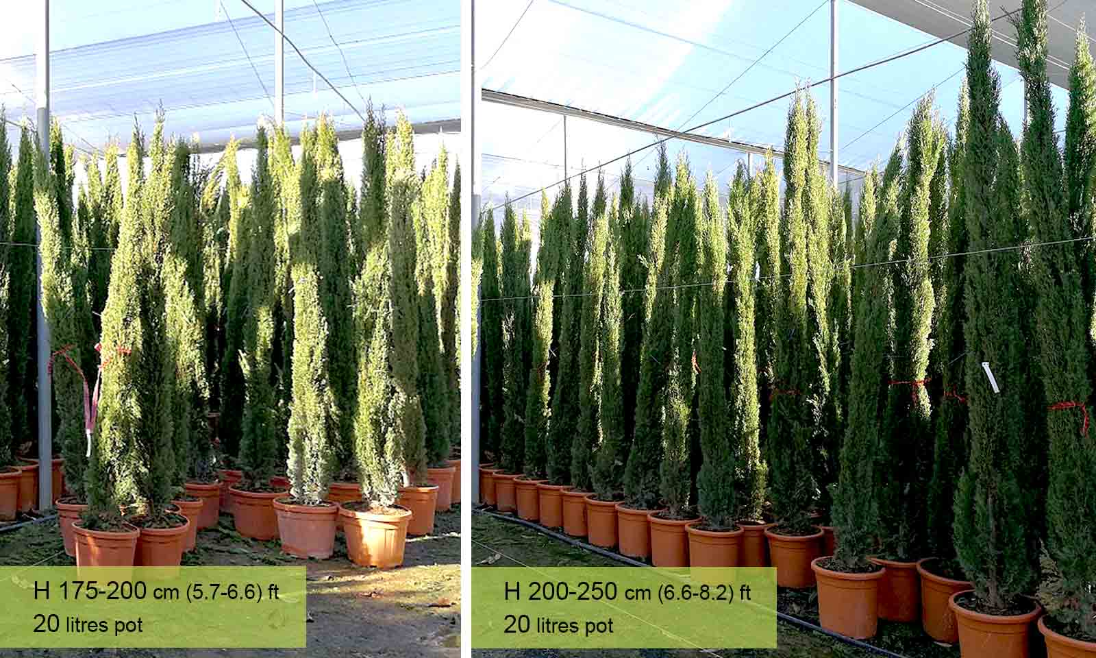 Cupressus Sempervirens Totem (Totem Cypress, Totem Pole)