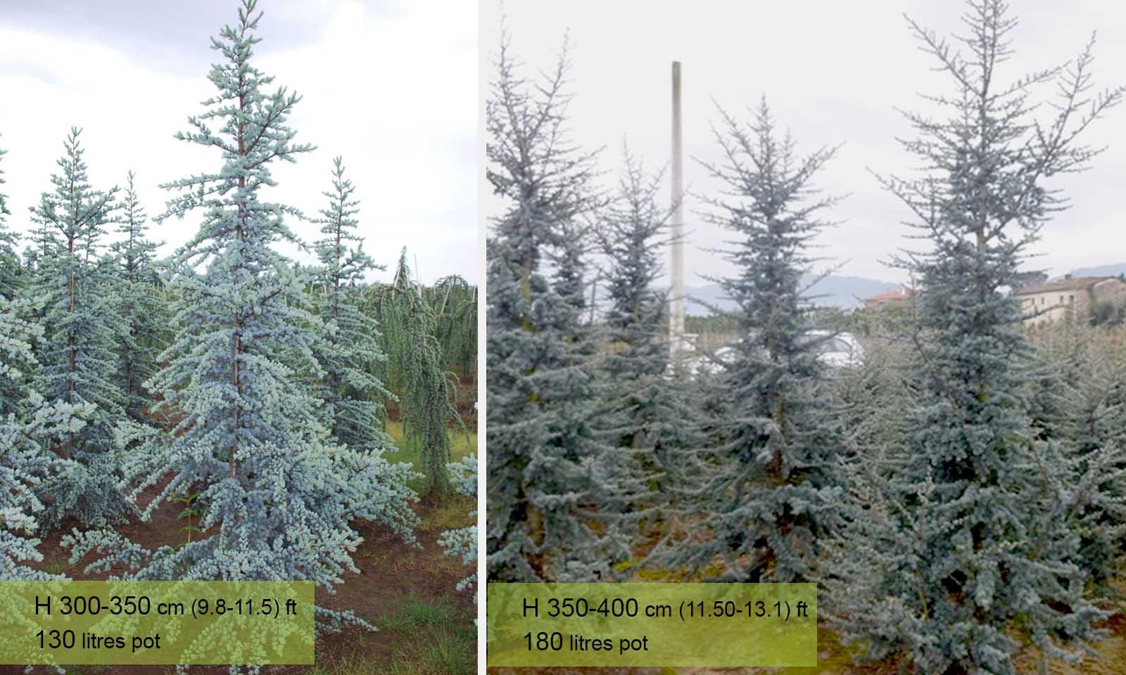 Cedrus Atlantica Glauca (Blue Atlas Cedar, Glauca Cedar)