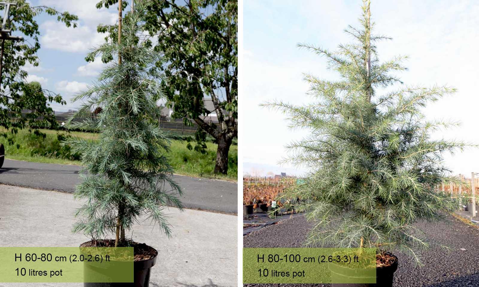 Cedrus Deodara (Deodar Cedar, Fountain Tree, Indian Cedar)