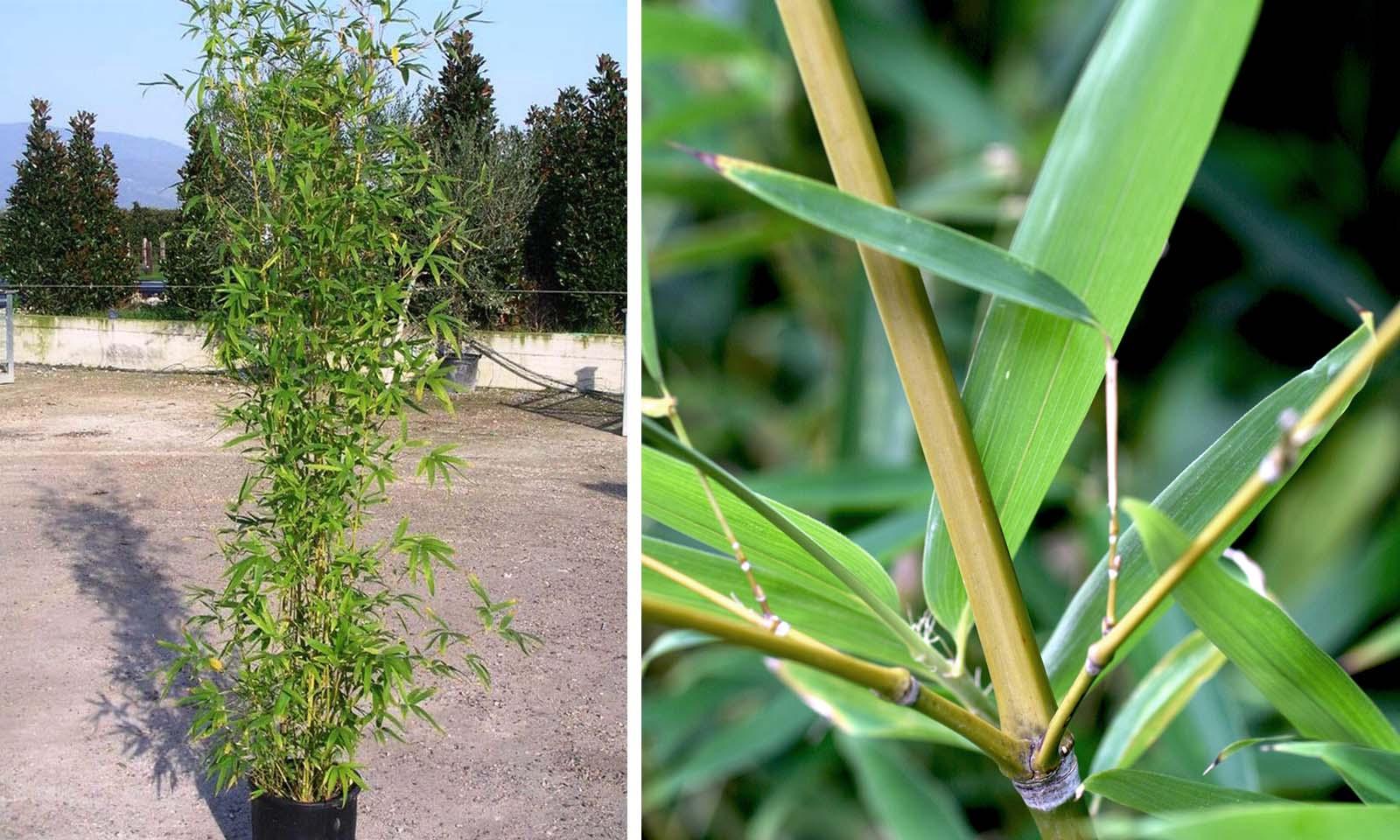 Bambusa Phyllostachys Aurea (Golden Bamboo)