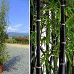 Bambusa Phyllostachys Nigra (Black Bamboo)