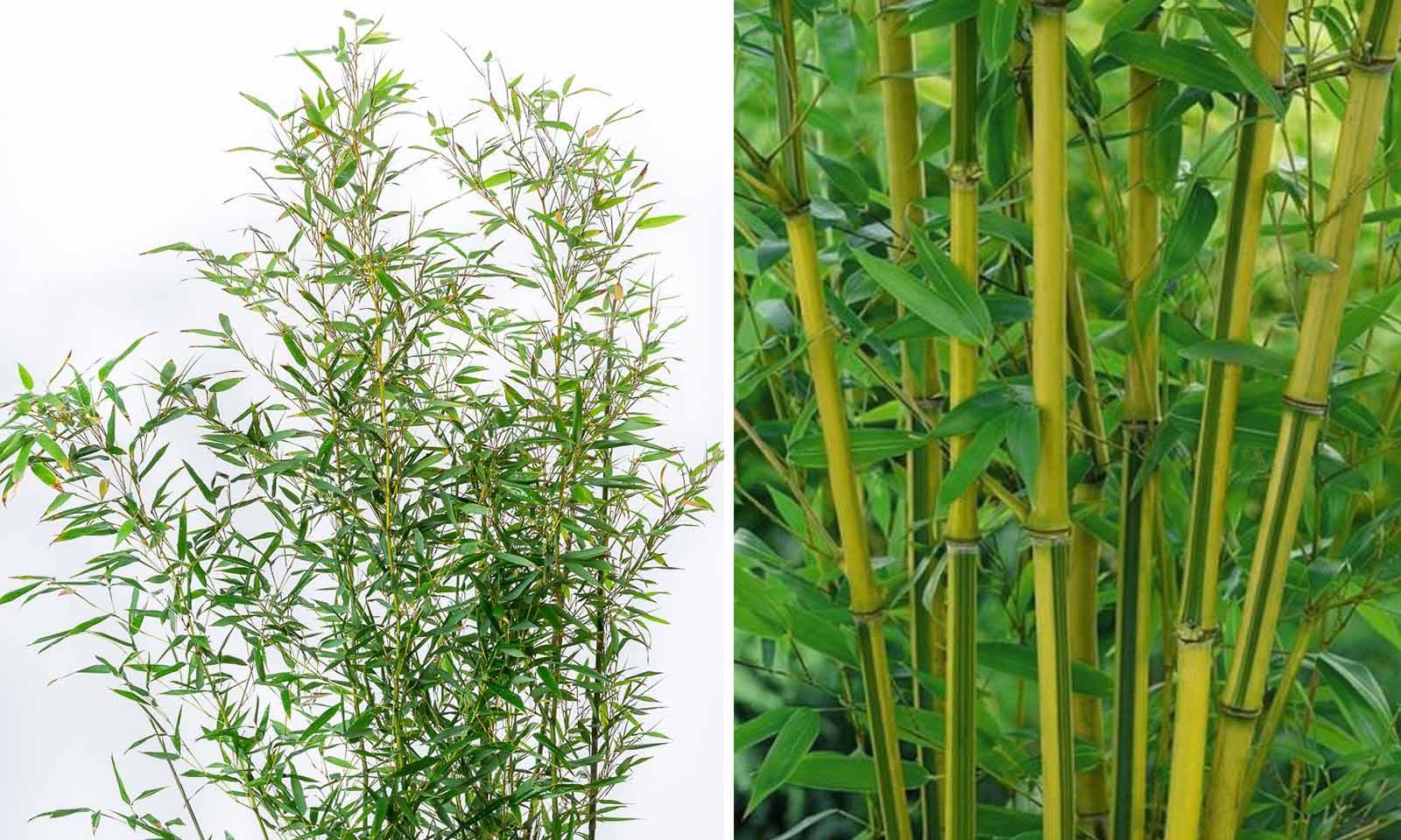 Bambusa Phyllostachys Bissetii (Bisset Bamboo)