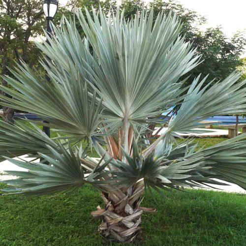 Brahea Armata (Mexican Blue Palm)